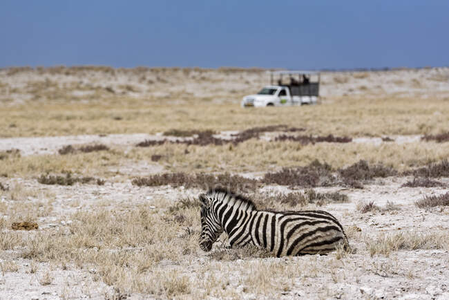 Plains Zebra (Equus quagga) and safari vehicle, Etosha National Park; Namibia — Stock Photo