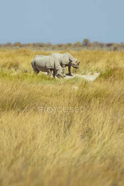 Black Rhinoceros (Diceros bicornis), Etosha National Park; Namibia — Stock Photo