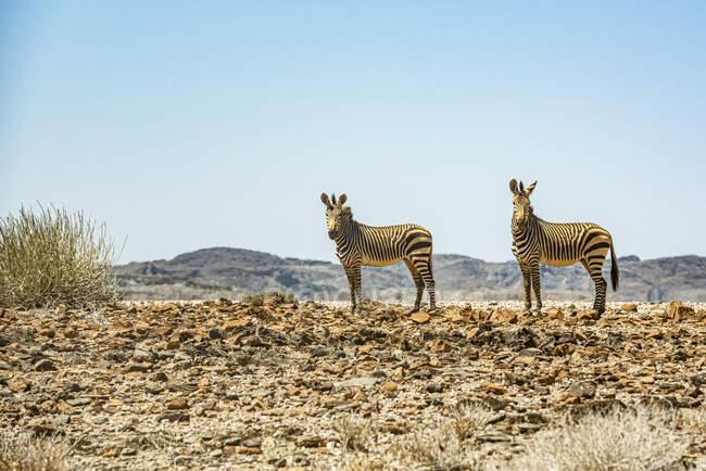 Due Zebre, Brandberg Mountain, Damaraland; Kunene Region, Namibia — Foto stock