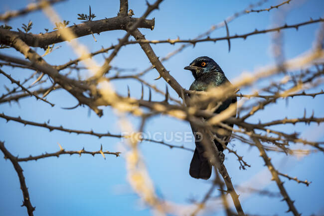 Cape Starling (Lamprotornis nitens), Etosha National Park; Namibia — Stock Photo
