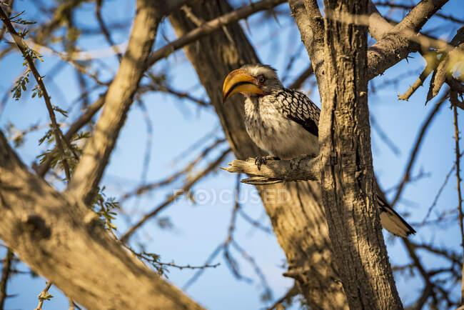 Southern Yellow-billed Hornbill (Tockus leucomelas), Etosha National Park; Namibia — Stock Photo