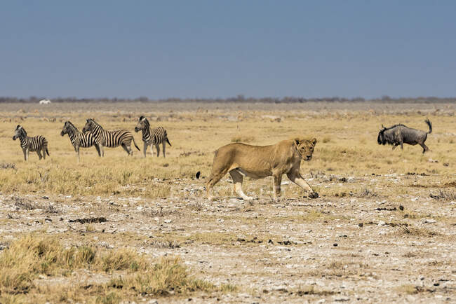 Lioness (Panthera leo) passing in front of a herd of Blue Wildebeests (Connochaetes taurinus) and Plains Zebras (Equus quagga), Etosha National Park; Namibia — Stock Photo