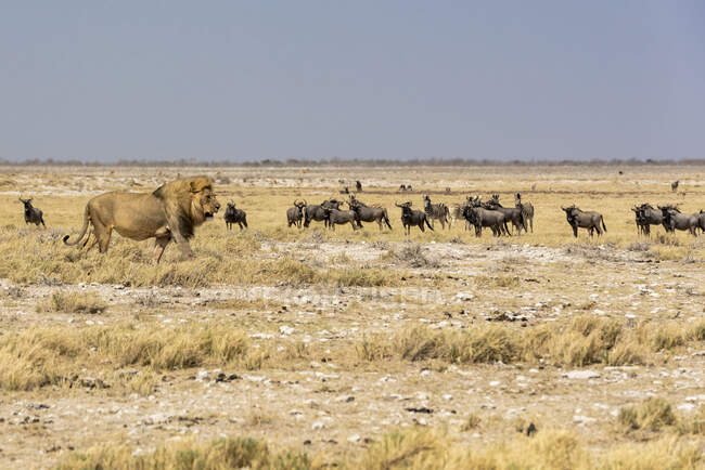 Lion (Panthera leo) passing in front of a herd of Blue Wildebeests (Connochaetes taurinus), Etosha National Park; Namibia — Stock Photo