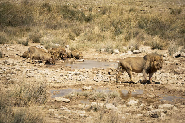 Lion pride (Panthera leo) drinking at a waterhole, Etosha National Park; Namibia — Stock Photo