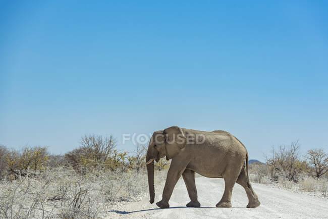 Elefante africano (Loxodonta) che attraversa una strada, Parco nazionale di Etosha; Namibia — Foto stock