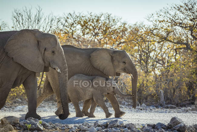 African Elephant family (Loxodonta), Etosha National Park; Namibia — Stock Photo
