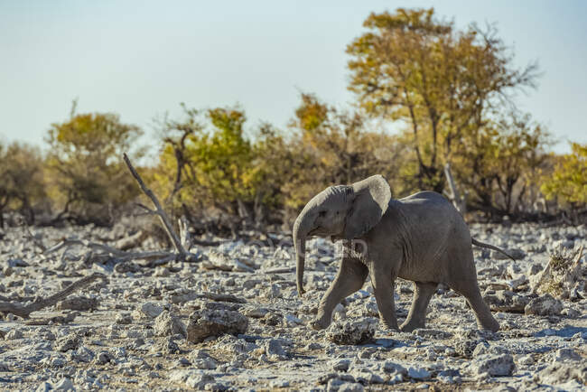 African Elephant (Loxodonta) calf walking across a rocky terrain, Etosha National Park; Namibia — Stock Photo