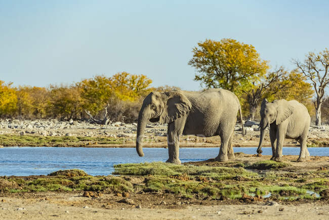 African Elephants (Loxodonta), Etosha National Park; Namibia — Stock Photo