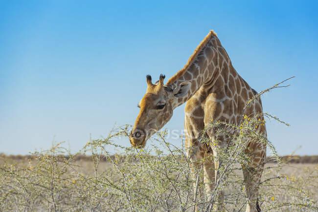 Giraffa (Giraffa) mangiare fogliame da una pianta, Parco Nazionale di Etosha; Namibia — Foto stock
