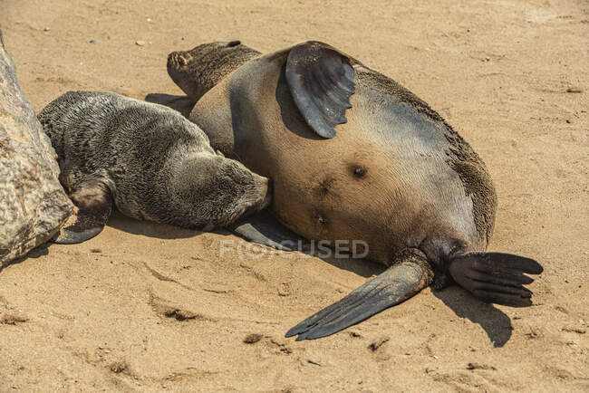 Cape Fur Seal (Arctocephalus pusillus) nursing her pup in the Cape Cross Seal Reserve, Skeleton Coast; Namibia — Stock Photo