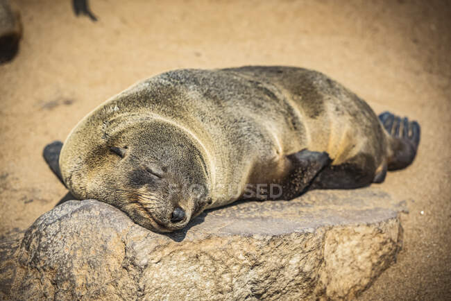 Cape Fur Seal (Arctocephalus pusillus) sleeping in the sun, Cape Cross Seal Reserve, Skeleton Coast; Namibia — Stock Photo