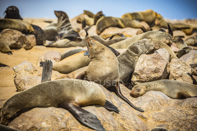 Cape Fur Seals (Arctocephalus pusillus) at Cape Cross Seal Reserve, Skeleton Coast; Namibia — Stock Photo