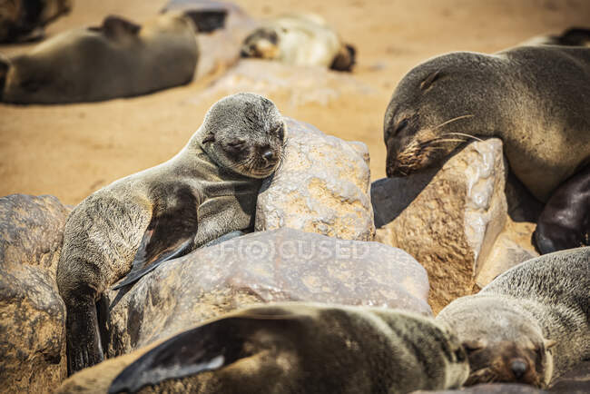 Cape Fur Seals (Arctocephalus pusillus) sleeping in the sun, Cape Cross Seal Reserve, Skeleton Coast; Namibia — Stock Photo
