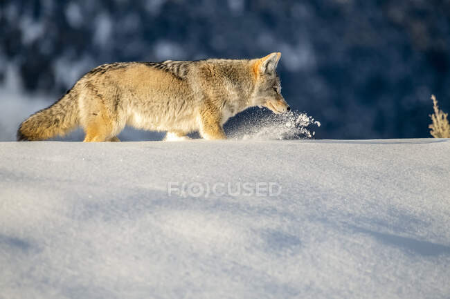 Coyote (Canis latrans) plowing through deep snow while hunting mice in Yellowstone National Park; Wyoming, United States of America — Stock Photo