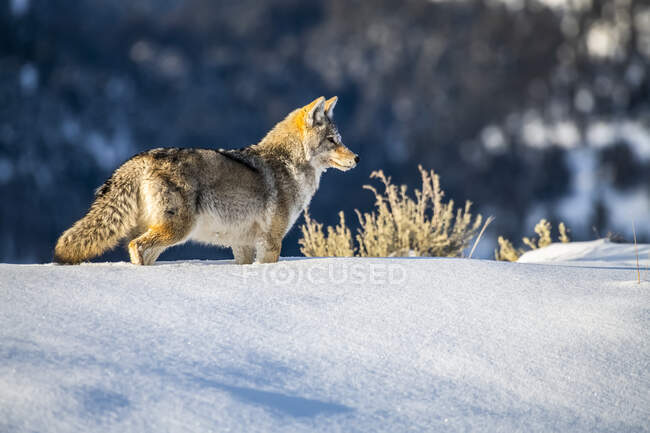 Coyote (Canis latrans) standing in deep snow in Yellowstone National Park; Wyoming, United States of America — Stock Photo