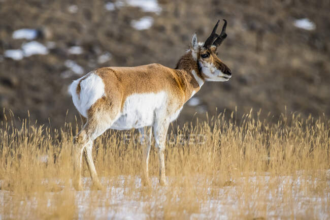 Close-up of a Pronghorn Antelope buck (Antilocapra americana) in Yellowstone National Park; Montana, United States of America — Stock Photo