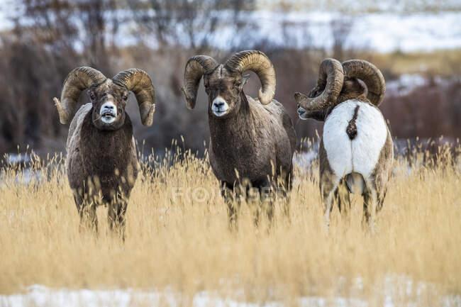 Bighorn Sheep ram avec des cornes massives près de Yellowstone National Park ; Montana, États-Unis d'Amérique — Photo de stock