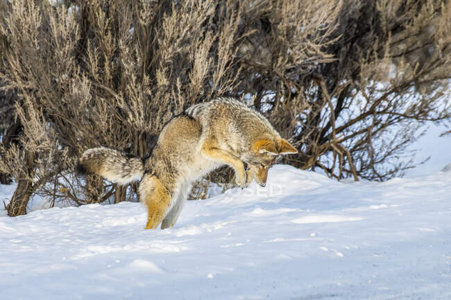 Coyote (Canis latrans) leaping in the air while hunting mice in Yellowstone National Park; Wyoming, United States of America — Stock Photo