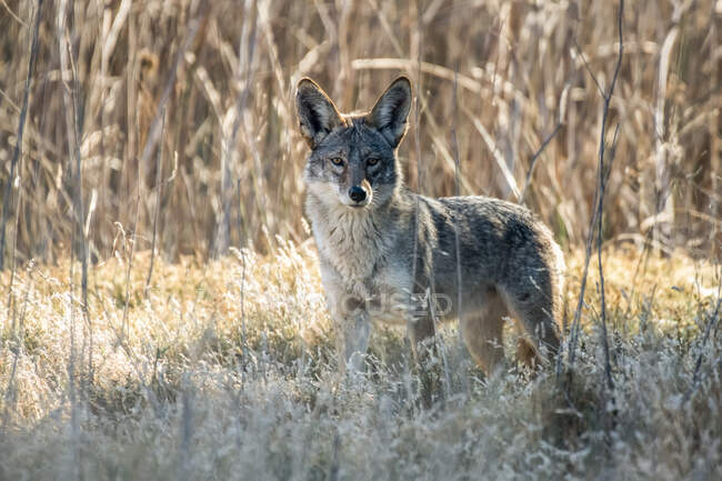 Coyote (Canis latrans) peering from the bushes in San Luis National Wildlife Refuge, California, United States of America — Stock Photo
