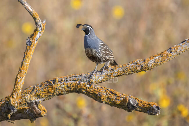 Male California Quail (Callipepla californica) perched on a dead branch covered with orange lichens at San Luis National Wildlife Refuge; California, United States of America — Stock Photo