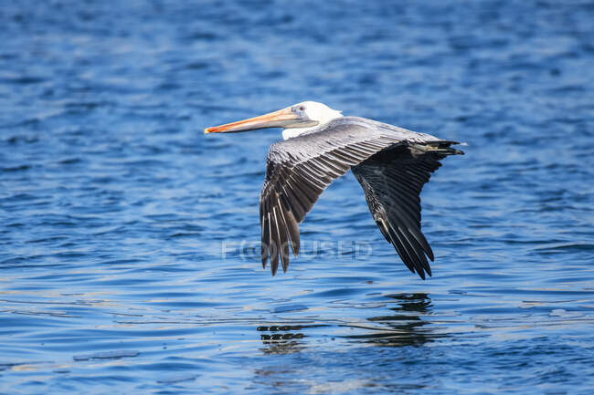 A Brown Pelican (Pelicanus occidentalis) gliding just above the sea surface at Point Lobos State Natural Reserve; California, United States of America — Stock Photo