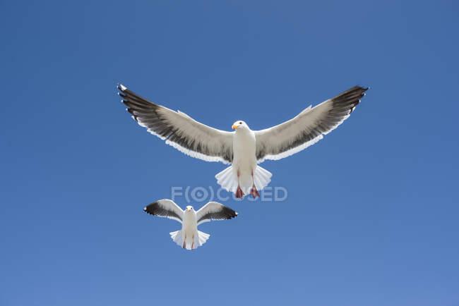 Paire de Goélands occidentaux (Larus occidentalis) volant contre un ciel bleu ; Morro Bay, Californie, États-Unis d'Amérique — Photo de stock
