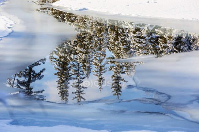 Заснеженные деревья, отражающиеся в открытой воде в замерзшем ручье; Калгари, Альберта, Канада — стоковое фото