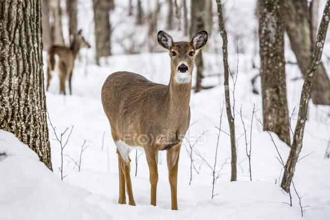 Doe (Cervidae) in Kathio State Park on a snowy winter day ; Minnesota, États-Unis d'Amérique — Photo de stock