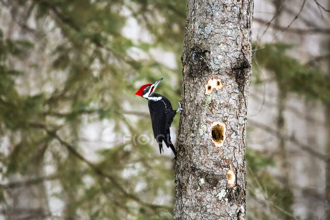 A busy Piliated woodpecker (Dryocopus pileatus) chipping out large holes in the tree, looking for insects to eat, Father Hennepin State Park; Minnesota, United States of America — Stock Photo