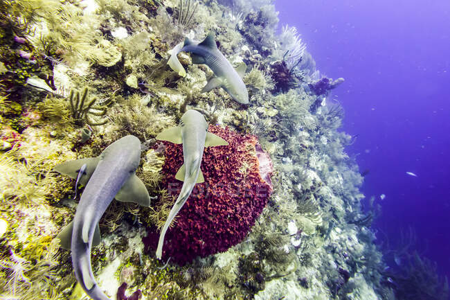 Nurse sharks (Ginglymostoma cirratum), viewed while scuba diving at Silk Caye, Placencia Peninsula; Belize — Stock Photo