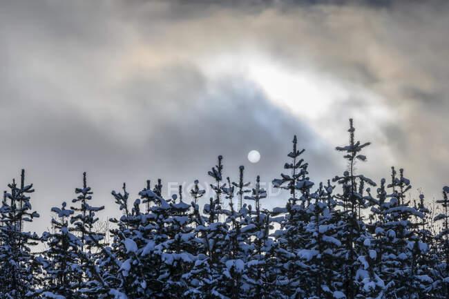 Снег покрывает вершины хвойных деревьев и облака затмевают полнолуние; Британская Колумбия, Канада — стоковое фото