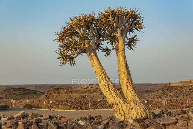 Quiver Tree (Aloidendron dichotomum), Hardap Resort, Hardap Region; Намибия — стоковое фото