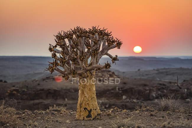 Árvore silenciosa (Aloidendron dichotomum), Hardap Resort, Região de Hardap; Namíbia — Fotografia de Stock