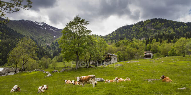 Cows grazing outside farm houses high up in the Italian Alps; Campertogno, Vecelli, Italy — Stock Photo