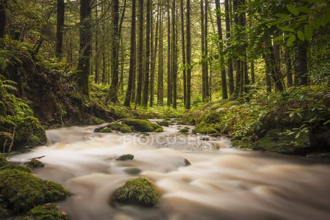 Небольшой ручеек, протекающий через зеленый лес; Баллидафф, графство Уотерфорд, Ирландия — стоковое фото