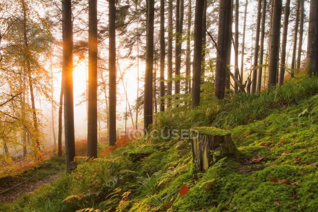 Пень дерева и лесная подстилка в лесу на восходе солнца покрыты туманом; Фермой, графство Корк, Ирландия — стоковое фото