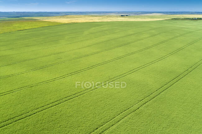 Aerial view of a green barley field with tire lines impressed in the field; Beiseker, Alberta, Canada — Stock Photo