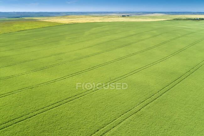 Vista aérea de um campo de cevada verde com linhas de pneus impressas no campo; Beiseker, Alberta, Canadá — Fotografia de Stock