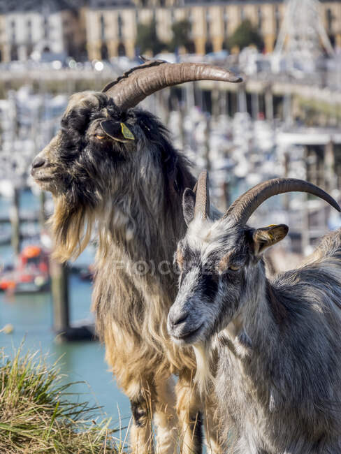 Two goats (Capra aegagrus hircus) standing in the grass on the shore beside the harbour; Dieppe, Normandy, France — Stock Photo