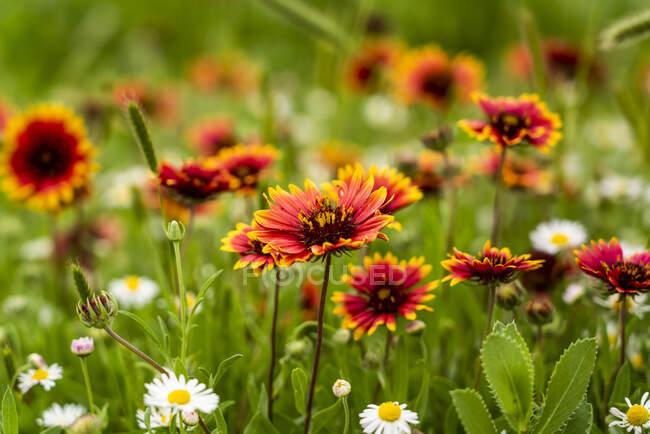 Belles fleurs sauvages rouges et blanches poussant dans un champ d'herbe ; Oklahoma, États-Unis d'Amérique — Photo de stock