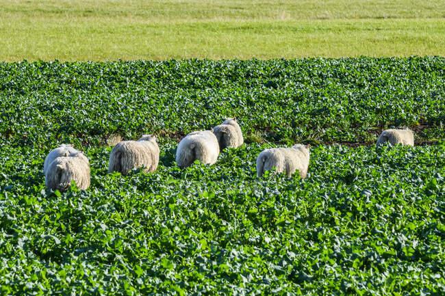 Живописный вид на выпас овец на красивом ландшафте — стоковое фото