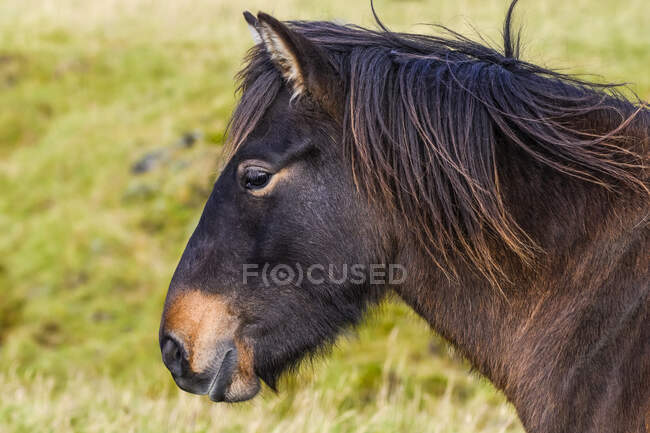 Close-up of the head and mane of a brown horse (Equus caballus); Hornafjorour, Eastern Region, Iceland — Stock Photo