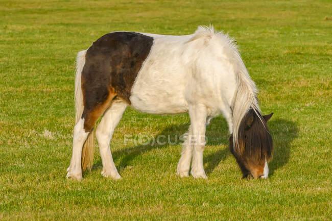 Cavalo castanho e branco (Equus caballus) pastando na grama; Myrdalshreppur, Região Sul, Islândia — Fotografia de Stock