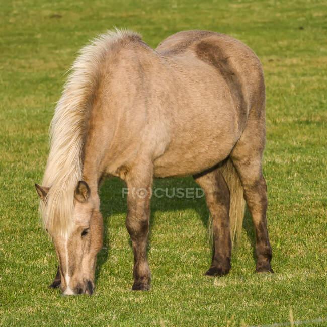 Cavalo loiro (Equus caballus) pastando na grama; Myrdalshreppur, Região Sul, Islândia — Fotografia de Stock