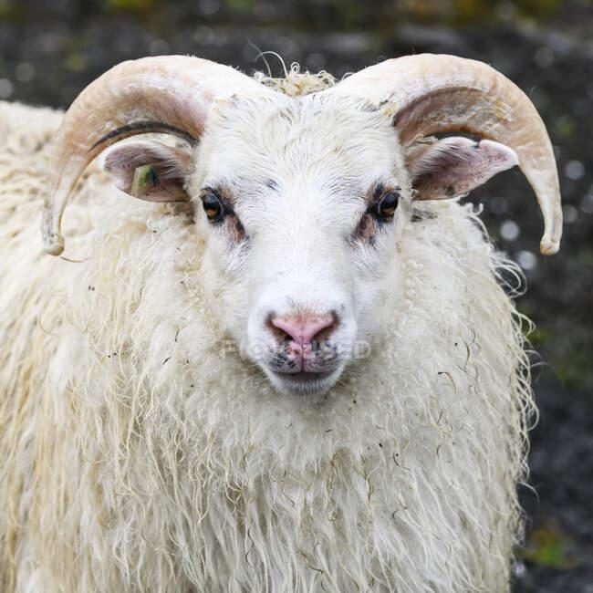 Крупный план белой овцы (Ovis aries), смотрящей в камеру; Sudavik, Westfjords, Iceland — стоковое фото