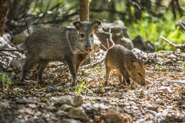 Female Javalina, or Collared Peccary (Pecari tajacu), with young foraging for acorns at Cave Creek Ranch in the Chiricahua Mountains near Portal; Arizona, United States of America — Stock Photo
