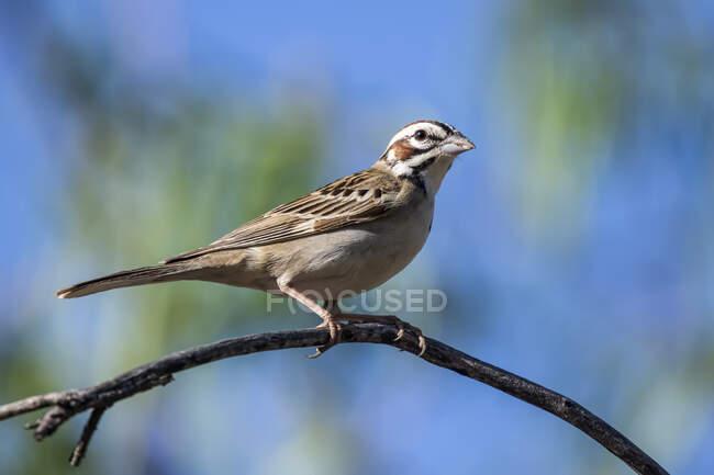 Lark Sparrow (Chondestes grammacus) розташовувався на гілці в передгір