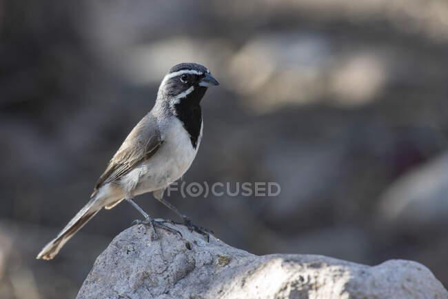 Bruant à gorge noire (Amphispiza billneata) perché sur un rocher dans les contreforts des montagnes Chiricahua près de Portal ; Arizona, États-Unis d'Amérique — Photo de stock