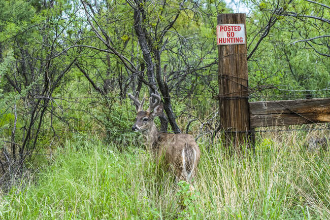 White-tailed Deer (Odocoileus virginianus couesi) standing in tall grass next to a 'No Hunting' sign in the Chiricahua Mountains near Portal; Arizona, United States of America — Stock Photo