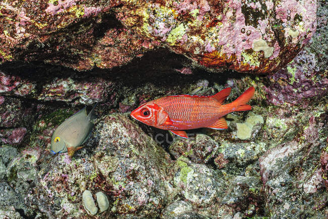 A Tahitian Squirrelfish (Sargocentron tiere) and a Goldring Surgeonfish (Ctenochaetus strigosus) near life-encrusted lava rock off the Kona coast, the Big Island, Hawaii, USA. A Dwarf Moray Eel is lurking under the ledge (visible just above the squir — Stock Photo